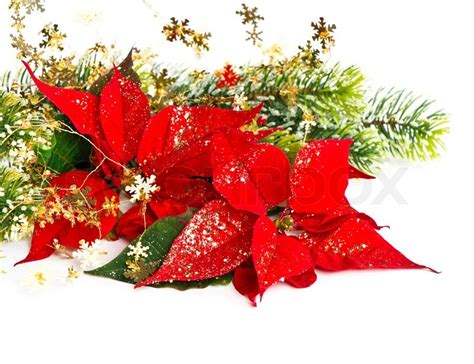 clear poinsetta holiday flower xmas lights poinsettia flower with golden decoration card concept stock photo colourbox