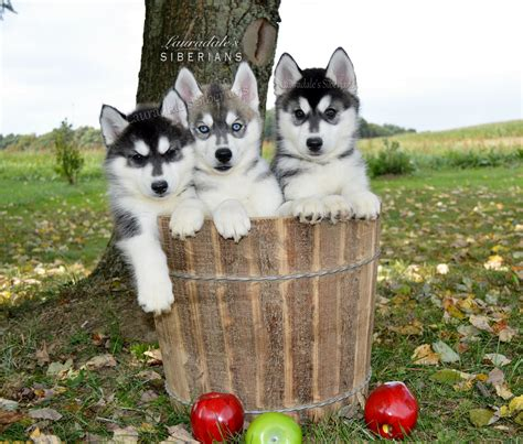adopt a husky puppy lauradale s siberian husky puppies for adoption in pennsylvania