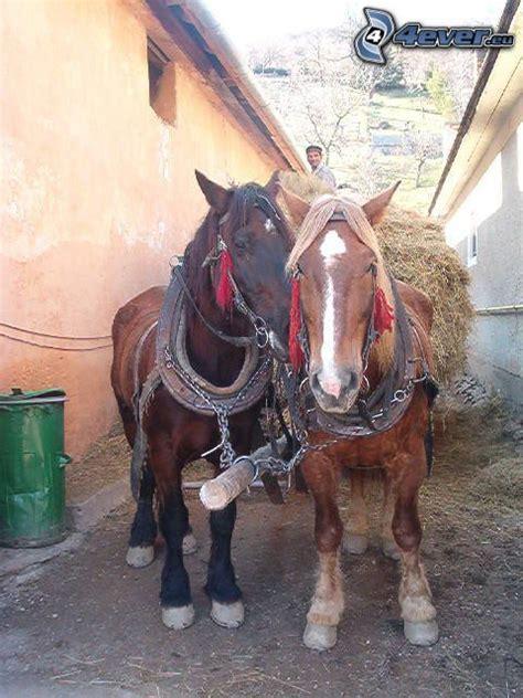 cavalli da carrozza cavalli da tiro