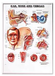 Ear Nose And Throat Anatomy Posters Archives Doctorportal Doctorportal
