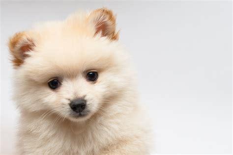 chien pomeranian zoom sur le spitz pomeranian l univers bio et naturel des chiens et des chats