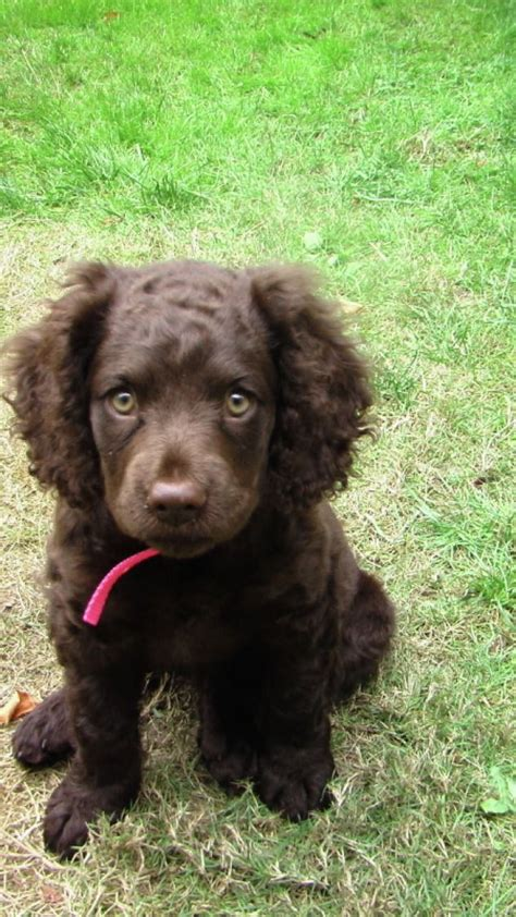 water spaniel puppies american water spaniel puppy