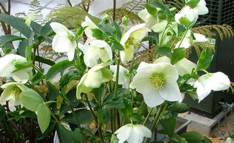 hellebore white per068 a4dibble plants