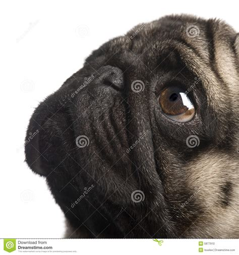 4 year pug pug 4 years stock photo image 5877910