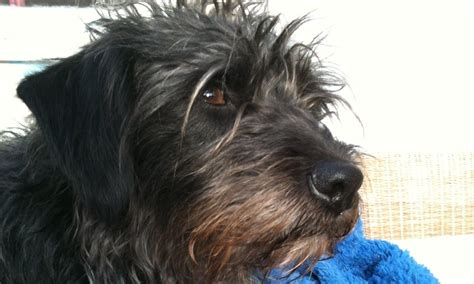 wire haired dogs wire haired podengo mix breeds picture