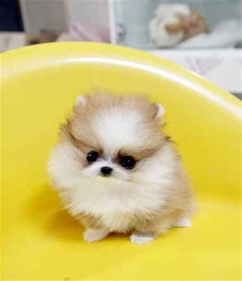 baby teacup pomeranian 17 best images about pomeranians on cutest dogs mini pomeranian and