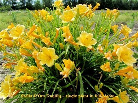 Stelan Flower stella d oro daylily hemerocallis
