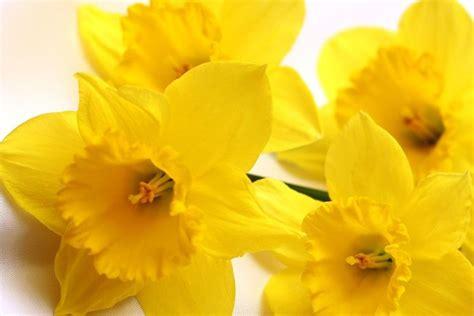immagini fiori gialli fiori gialli nomi piante perenni nomi dei fiori gialli