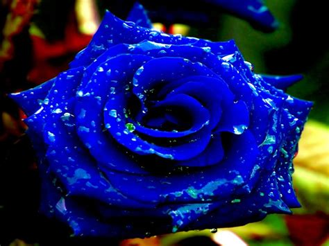 Blue Search Blue Search Blue Roses