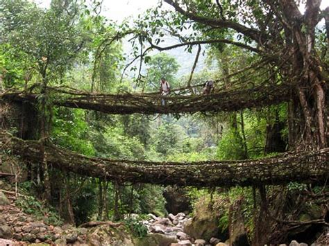 what is root bridge the root bridges of cherrapungee