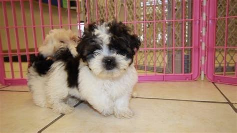 shichon puppies for sale in ga fantastic teddy puppies for sale in atlanta bichon frise shih tzu hybrid