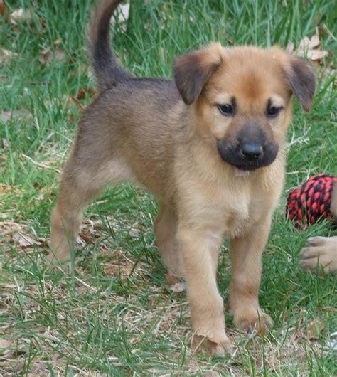 chinook puppies chinook puppy puppy