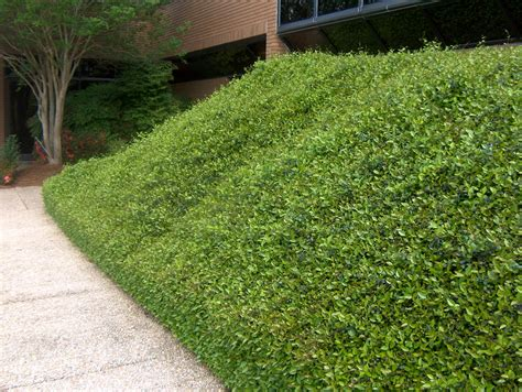 Steilen Hang Bepflanzen by Planting On Slopes Ground Covers Jacksonville Lawn Care