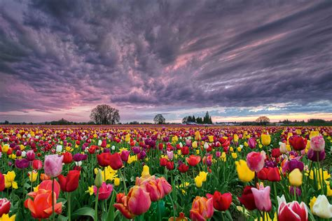 tulip feilds 15 incredibly colorful spring flower fields around the