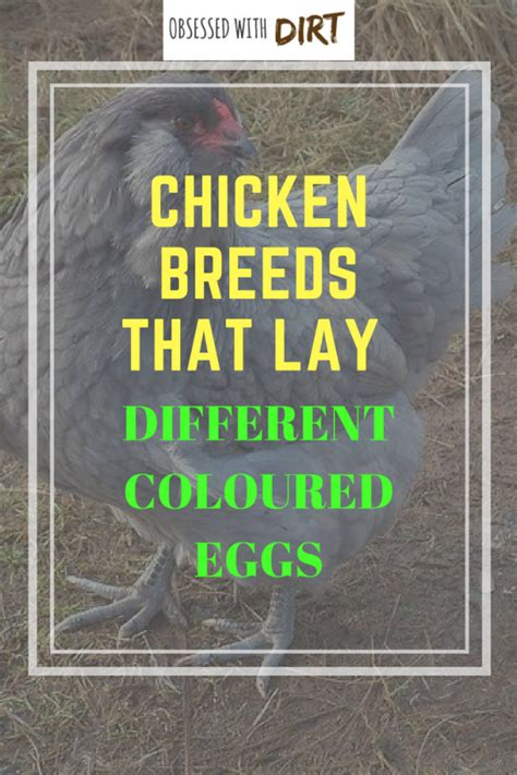 chickens that lay colored eggs chickens that lay colorful eggs info on the chicken that