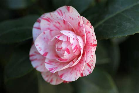 free photo camellia flower pink free image on pixabay 1224525