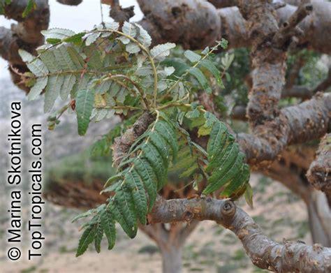 boswellia sacra boswellia carteri boswellia undulato crenata frankincense olibanum tree