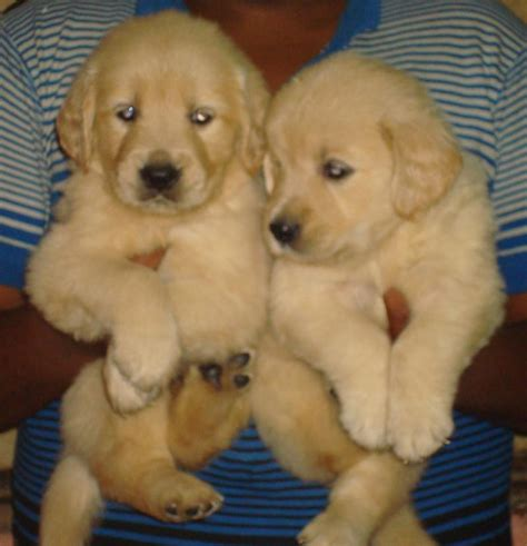 golden retriever in bangalore golden retriever puppy cost bangalore photo