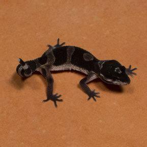 leopard gecko lighting at night black night leopard geckos premium geckos
