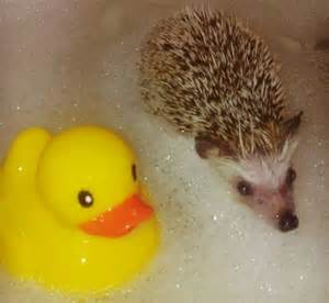 hedgehog bathtub hedgehog pet bath www pixshark com images galleries