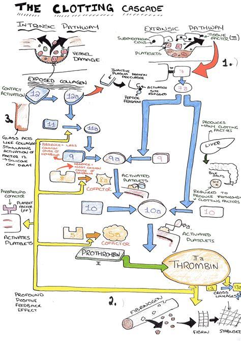 blood clotting mechanism diagram the clotting cascade diagram on meducation