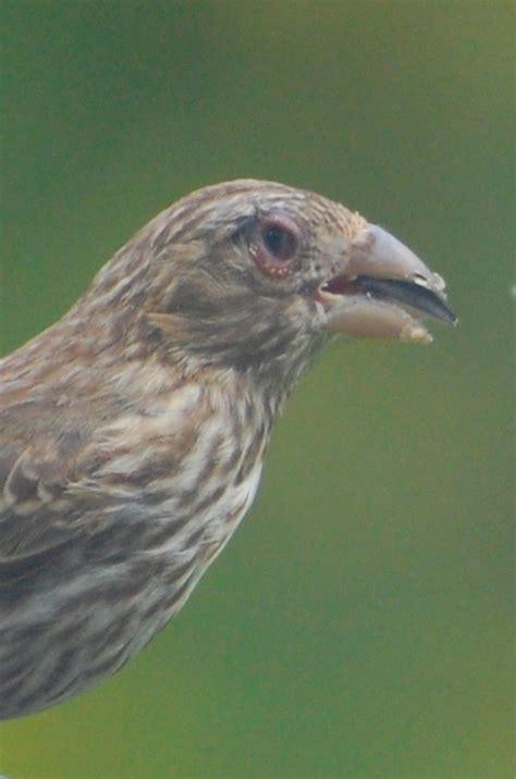 house finch eye disease house finch disease finch eye disease backyard birds the bird food store matthews nc
