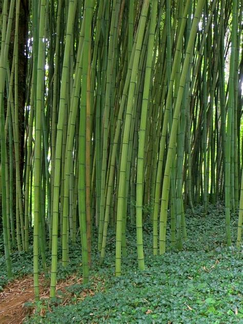 Wallpaper Bamboo Bambu 10m bamboo farming in kenya 2018