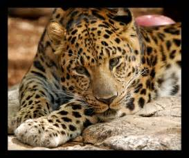 How Many Jaguars Are Left In The World Leopard Pictures Images Photos
