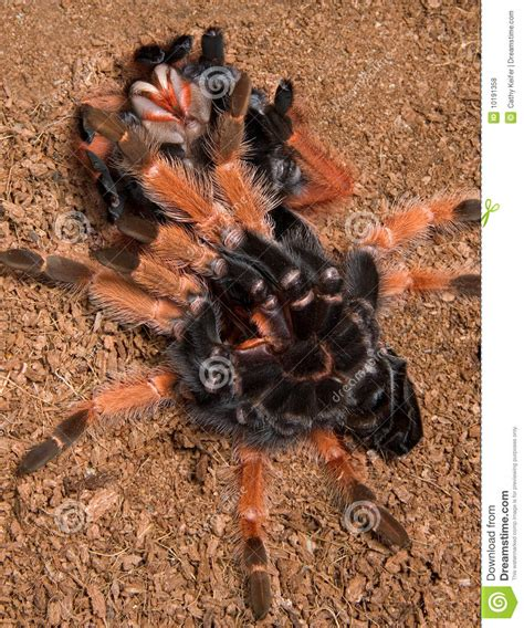 do tarantulas shed their legs 28 images tarantula
