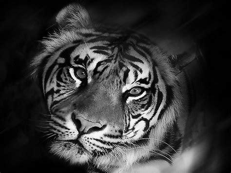 wallpaper black tiger image detail for free tiger black and white wallpaper