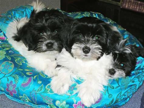 are havanese puppies hypoallergenic puppy nursery havanese puppies hypoallergenic