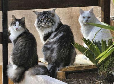 alimentazione maine coon maine coon pelo lungo caratteristiche gatto maine coon