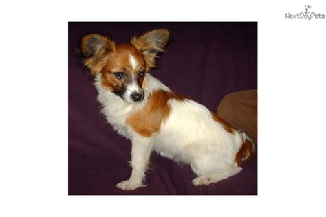 papillon puppy price papillon puppy for sale near hattiesburg mississippi ea572726 7631
