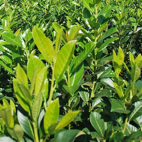 piante da siepe in vaso piante da siepe coltivazione e vendita piante da siepe
