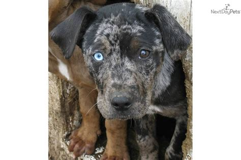 catahoula leopard price catahoula leopard for sale for 200 near lake of the ozarks missouri a3182847 83f1