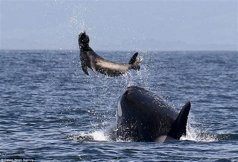 killer whale rescue killer whale tosses a seal through the air to stun it