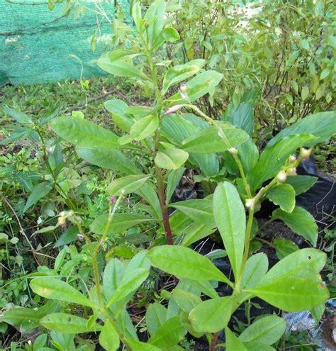 Akar Ginseng Jawa dedaun alam ginseng jawa