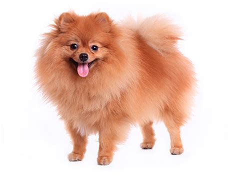 pomeranian with no hair living proof review gt no frizz shoo conditioner nourishing styling