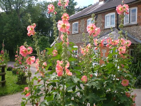 cottage gardens plants between the flowers hollyhock flowers alcea rosea