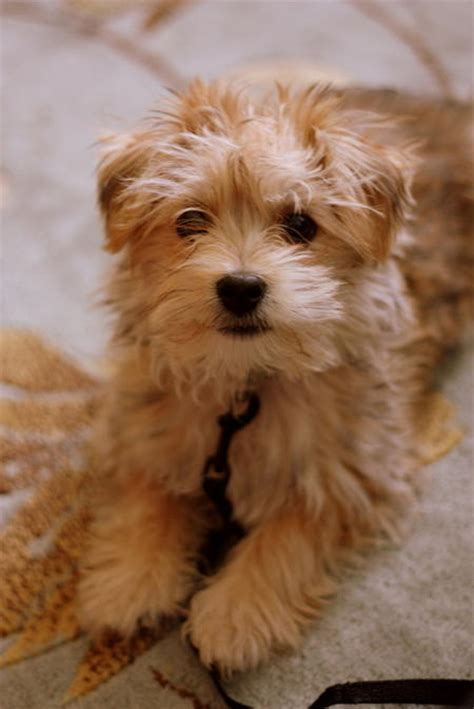 maltese mix puppies for sale waffle the maltese mix puppies daily puppy