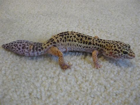 leoparden deko how to care for a leopard gecko