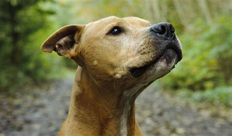 pit picture american pit bull terrier breed information
