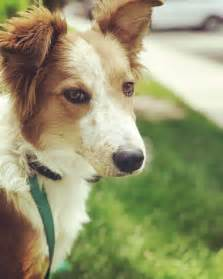 shelters in utah view ad border collie mix for adoption utah salt lake city usa