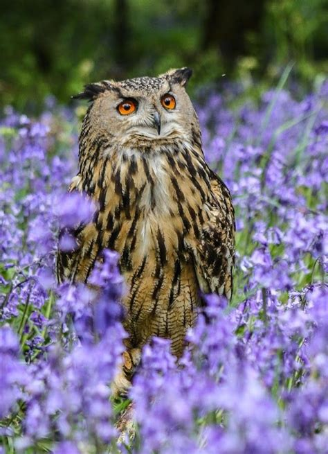 17 best images about birds owls on pinterest long eared
