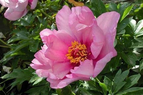 fiori di peonia fiore peonia peonie fiore peonia giardino
