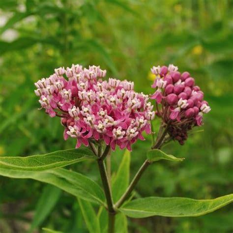 swamp milkweed seeds  milkweeds  monarchs love