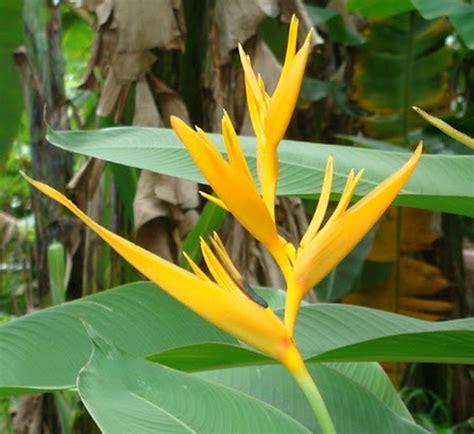 Tanaman Hias Heliconia Kuning tanaman yellow heliconia bibitbunga