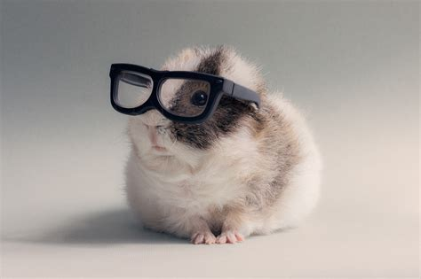 wallpaper hd chat lunette glasses hamster pet animals wallpapers hd desktop and