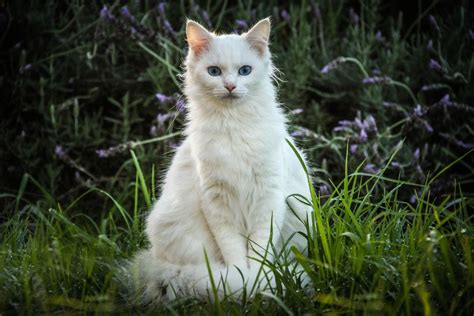 the white cat and white cats features and health issues
