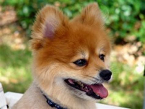 pomeranian for adoption in va virginia pomeranian rescue adoptions rescueme org